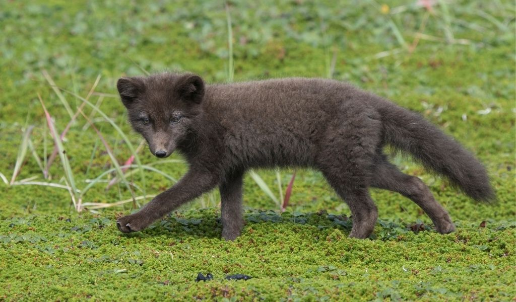 What is a Blue Arctic Fox?