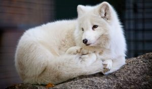 How Big is an Arctic Fox? How Much Do They Weigh?