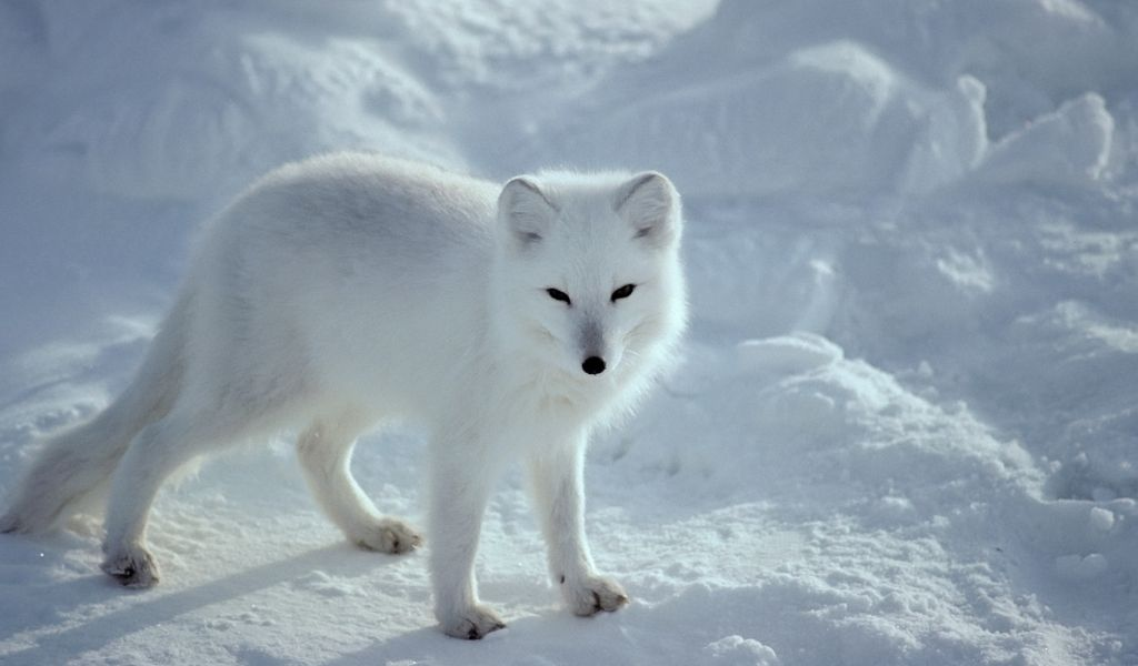How Long Do Arctic Foxes Live?