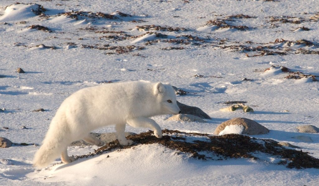 Are Arctic Foxes Carnivores? What Do They Eat?
