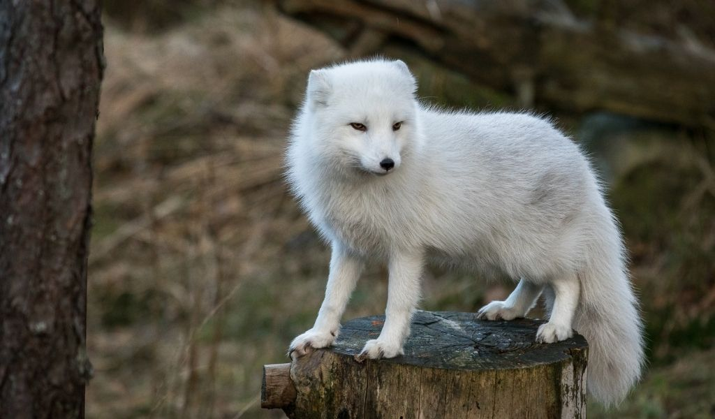 Where Do Arctic Foxes Live? How Many Are Left?