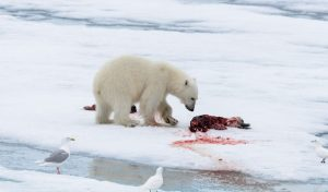 Are Polar Bears Omnivore or Carnivore? What Do They Eat?