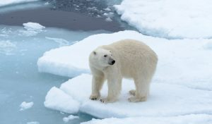 Do Polar Bears Hunt Humans? Will They Eat You?
