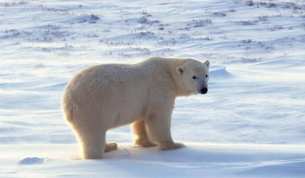How Big is a Polar Bear? How Much Do They Weigh?