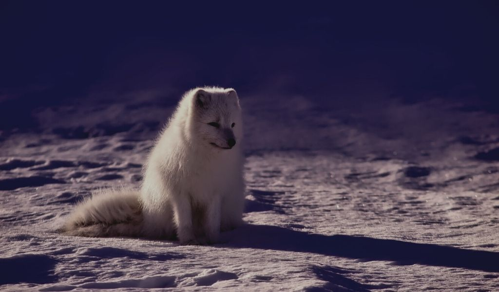 Are Arctic Foxes Nocturnal?