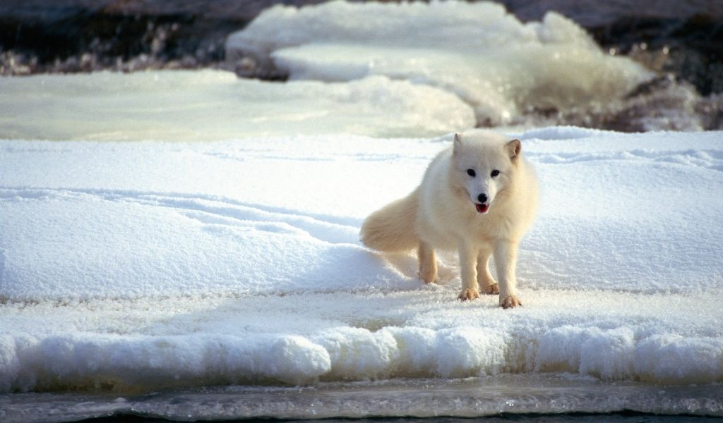 17 Facts About the Arctic Fox [Some May Surprise You]