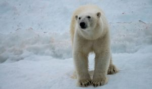 23 Facts About Polar Bears That May Surprise You