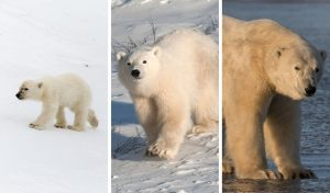 Polar Bear Lifecycle: From Birth to Death