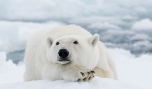 What Color is a Polar Bear? [The Answer is Not What You Think]